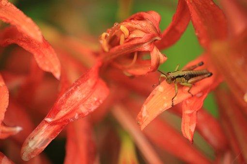 Bug, Grasshopper, Insect, Giant Kitsunenokamisoli