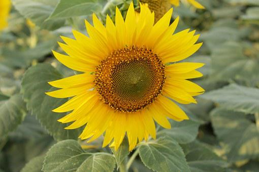 Sunflower, Close Up Suflower, Nature, Leaves, Farm