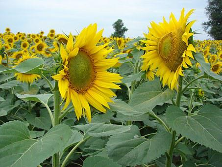 Sunflower, Petals, Leaves, Yellow, Sunflowers, Field