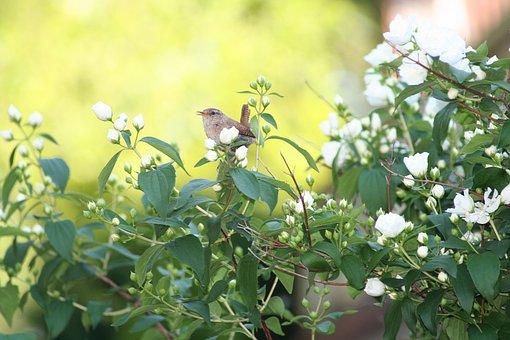 Willow Wren, Little Bird, Garden Bird, Nature, Deutzia