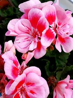 Flower, Pink, Geranium, Gum, Green, Macro, Plant