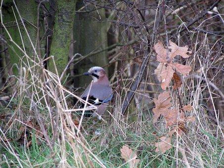 Jay, Bird, Raven Bird, Nature, Animals
