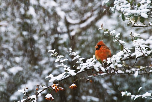 Red Jay, Bird, Trees, Branches, Nature, Snow, Winter