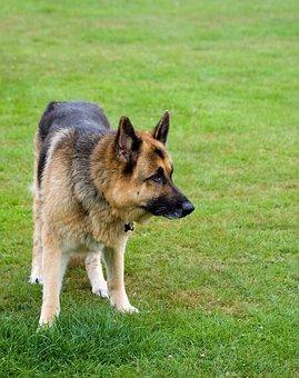 Dog, German Shepherd, Alsatian, Animal, Pet, Canine