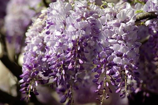 Glycine, Cluster, Flowers, Purple