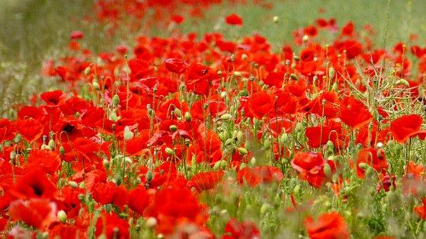 Poppy, Klatschmohn, Flower, Red, Red Sea, Blütenmeer