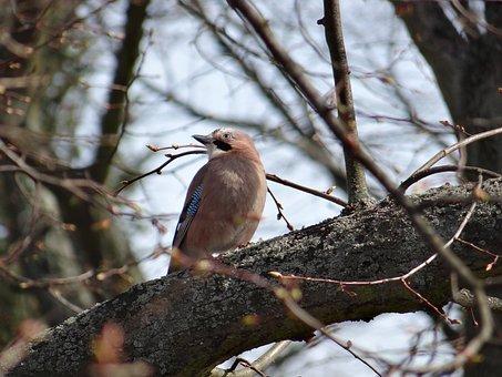 Jay, Songbird, Garrulus Glandarius, Raven Bird