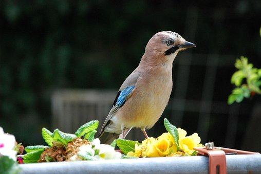 Jay, Bird, Garden, Garrulus Glandarius, Spring
