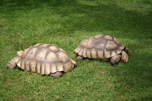 African Spurred Tortoise, Turtle, Giant Tortoise