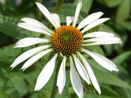 Coneflower, Echinacea, White Sun Hat, Blossom, Bloom