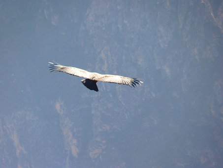 Andean Condor, Vultur Gryphus, Bird, Species, Fly, Air