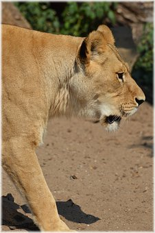 Lioness, Lion, Predator, Big Cat, Cat, Feline, Animal
