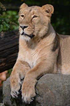 Lioness, Animal, Mammal, Feline