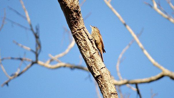 Birds, Birdie, Virado Beak, Xenops, Nature, Animals