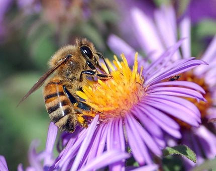 Honey Bee, Bee, Insect, Flower, Apoidea, Flight Insect