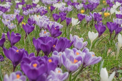 Crocus, Blossom, Bloom, Spring Crocus, Bloom, Flowers