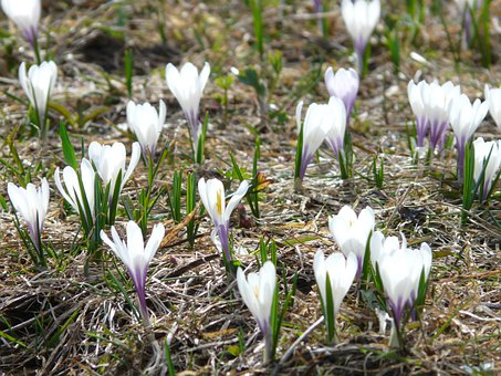 Spring Crocus, Crocus, White, Flowers, Blossom, Bloom