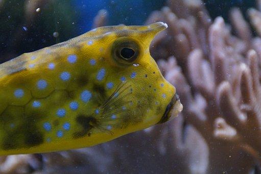 Boxfish, Portrait, Head, Underwater, Underwater World