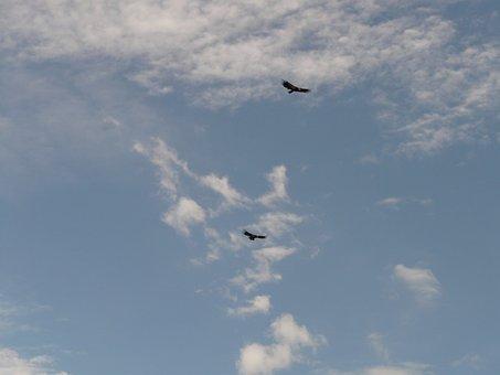 California Condor, Condor, Bird, Animal, Fly, Sky
