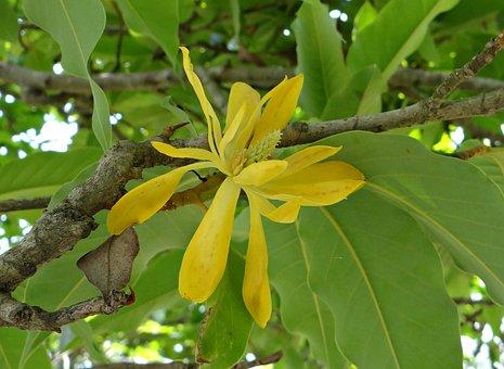 Champa, Champak, Magnolia Champaca, Yellow Jade Orchid