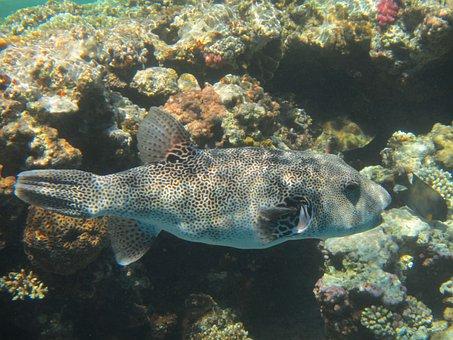 Boxfish, Fish, Red Sea, Coral, Diving, Underwater