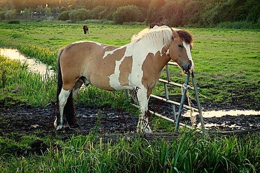 Horse, Animal, Mammal, Equine, Piebald, Fence, Meadow