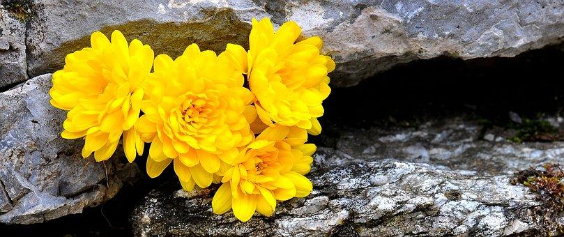Chrysanthemums, Flower, Flowers, Yellow, Stone, Nature