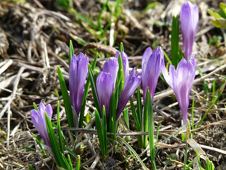 Spring Crocus, Crocus, Blue, Purple, Flowers, Blossom