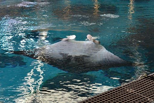 Ray, Manta Ray, Pool, Aquarium, Animal, Aquatic, Giant