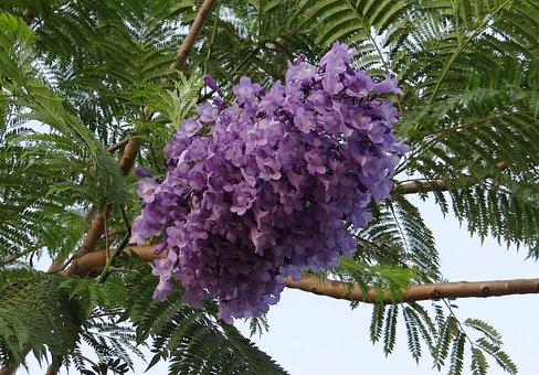 Jacaranda Mimosifolia, Flowers, Jacaranda
