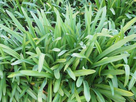Leaves, Growth, Habitus, Iris, Lily, Flower