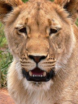 Lion, Lioness, Portrait, Cat, Wild, Leo, Wildlife