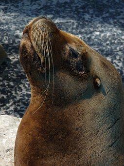 Animal, Sealion, Sea, Wildlife, Ocean, Marine, Brown