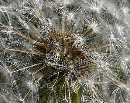 Dandelion, Taraxacum, Fruit, Achene, Plant, Nature