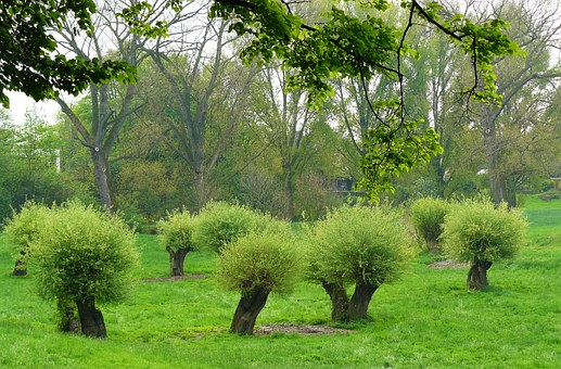 Pollarded Willows, Pasture, Pasture Trees, Landscape