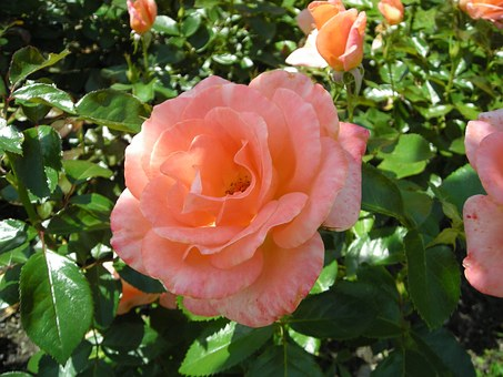 Roses, Lys Assia, Patron System