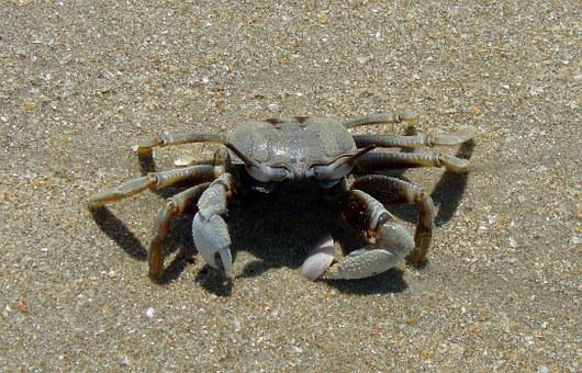 Crab, Sea, Animal, Ocean, Seafood, Shell, Beach, India
