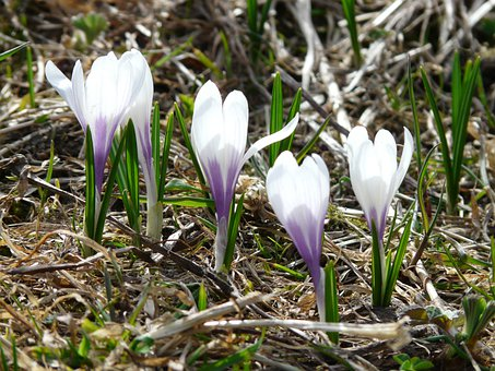 Spring Crocus, Crocus, White, Blue, Purple, Flowers