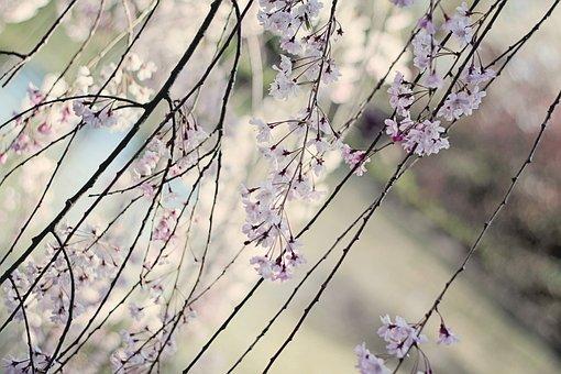 Flowers, Cherry Blossoms, Garden, Spring, Pink, Blossom