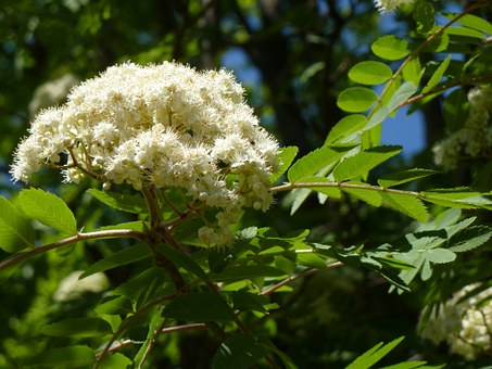 Mountain Ash, Tree, Flower, Rowan, White, Branch