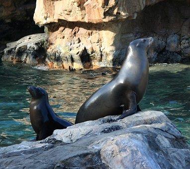 California Sealions, Seals, Water Mammals, Sea, Seal