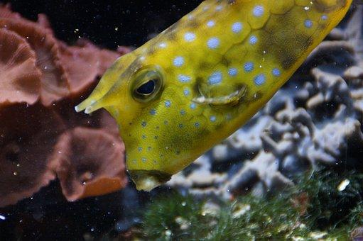 Boxfish, Underwater, Swim, Fish, Animal, Water