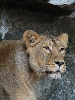 Lioness, Animal, Predator, Wild, Cat, Lion