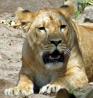 Lioness, Wildcat, Predator, Zoo, Lion, Animal, Mammal