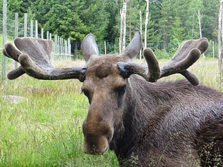 Moose, Sweden, Antler, Animal