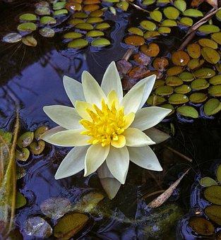 Minirose, Aquatic Plant, Water, Pond, Water Lily, Bloom