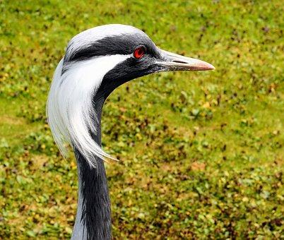 Acorns, Crane, Bird, Head, Bill, Plumage, Neck, Eyes