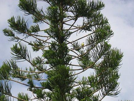 Yellowtail, Bird, Pine Tree, Sky, Bermuda, Tree
