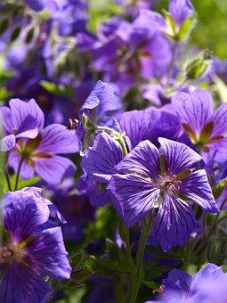 Cranesbill, Perennials, Blue, Blossom, Bloom