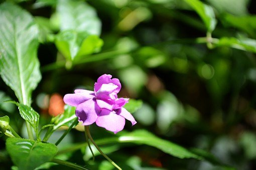 Purple Flower, Flower On Sunlight, Bloom, Blossom